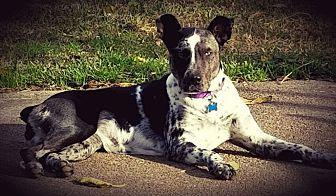 Karma Catahoula Leopard Dog Adult Female