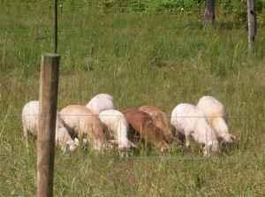 Katahdin hair sheep ram lambs - $200 (14 miles north of