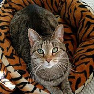 Katie Domestic Shorthair Adult Female