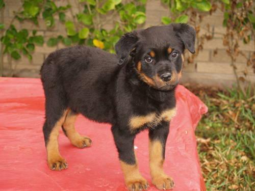 Kb Kennel 100german Rottweiler For Sale In Houston Texas