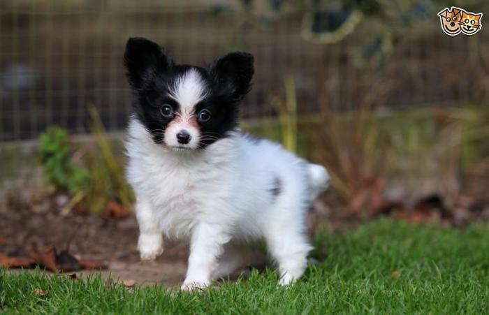 Pets And Animals For Sale In Ashburn Virginia Puppy And Kitten