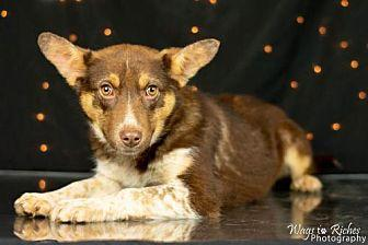 Keena Australian Cattle Dog Puppy Female