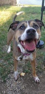 Keesha American Pit Bull Terrier Adult Female