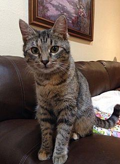Keira Domestic Shorthair Young Female