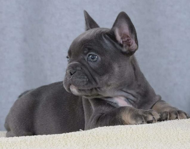 Kendall French Bulldog Puppy For Sale