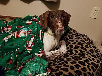 Kendrick German Shorthaired Pointer Young Male
