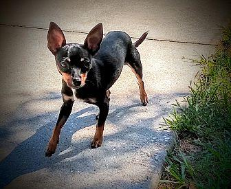 Kenny Miniature Pinscher Puppy Male