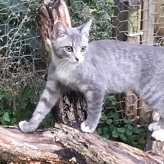 khan Domestic Shorthair Young Male