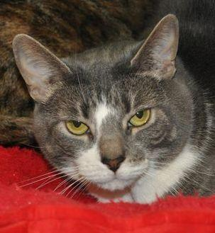 Kiki Domestic Shorthair Adult Female