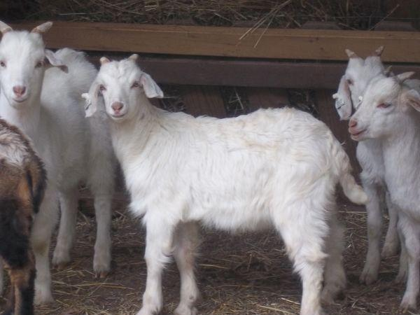 Kiko goats for sale (Beaver, ohio)