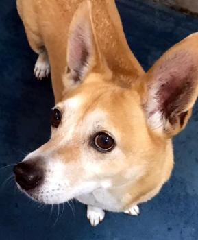 Kirby Corgi Adult - Adoption, Rescue