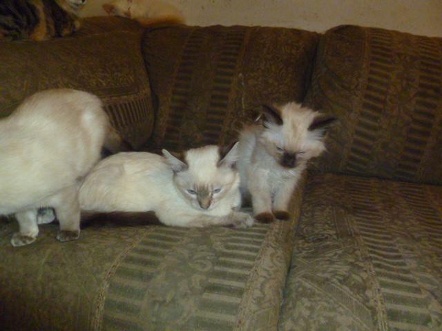 abyssinian cat photos