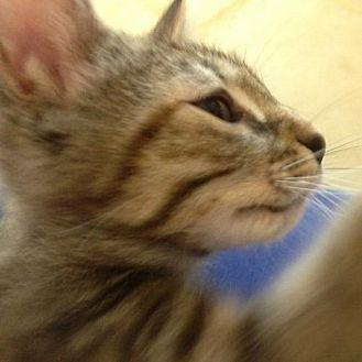 Kiwi (FC=toby) Domestic Shorthair Young Female