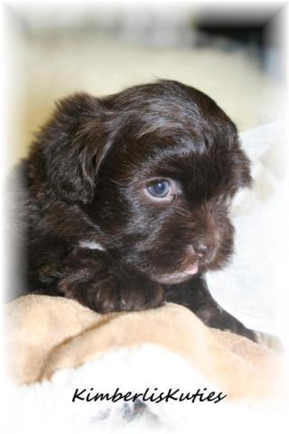 Kodiak ~ Shih Poo ( Shih Tzu / Toy Poodle ) Chocolate