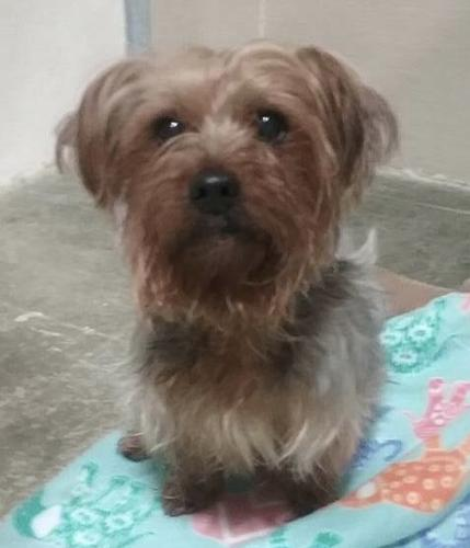 Kody Yorkshire Terrier Yorkie Adult Adoption Rescue For Sale In