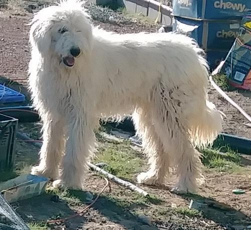 Komondor Puppy For Sale Adoption Rescue For Sale In Laguna New