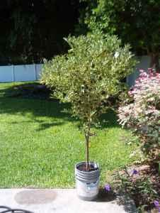 KUMQUAT TREE 6 foot - $50 (bradenton)