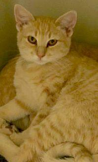 Kyle Domestic Shorthair Adult Male