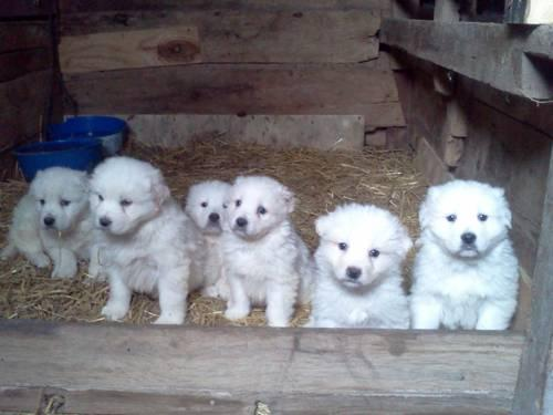Italian English Animsld: L.G.D. Italian Maremma Sheepdogs For Sale In Bloomingdale
