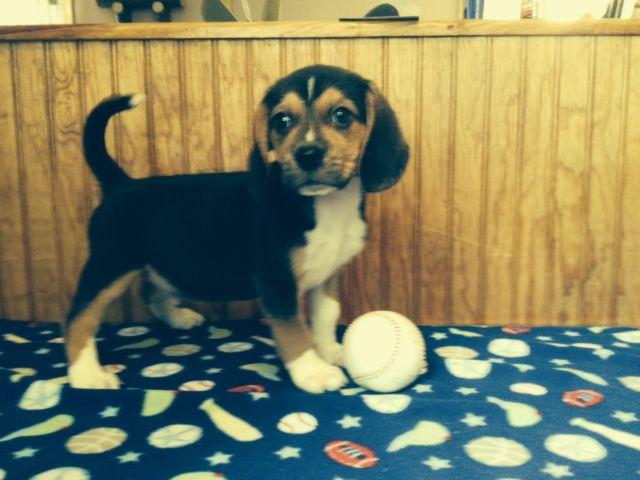 L At At K Ckc Beagle Puppies For Sale In Lake City Florida Classified