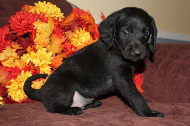 Lab Mix Puppies For Sale In Washington Classifieds Buy And