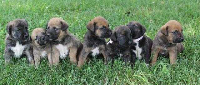 Lab/Border Collie mix puppies - 4 weeks old