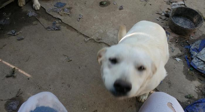 Lab pup for free to good home