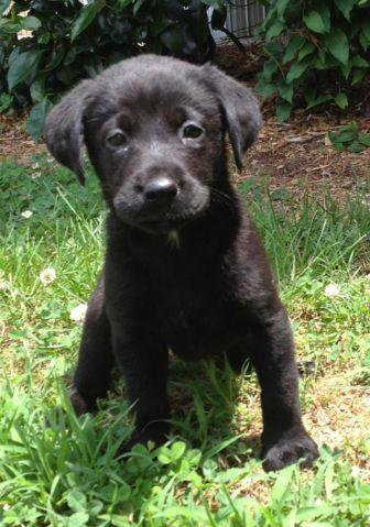 Lab Dog For Sale In Georgia Classifieds Buy And Sell In Georgia