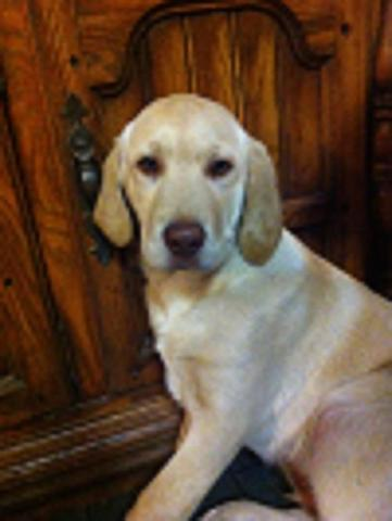 Lab Puppy - AKC Yellow Male - All shots - Health