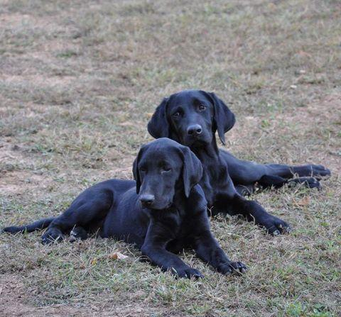 Lab Puppy Black Chocolate Yellow For Sale In Chesapeake Ohio