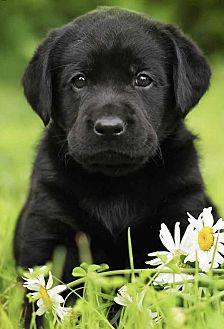 Lab pups Labrador Retriever Puppy Female