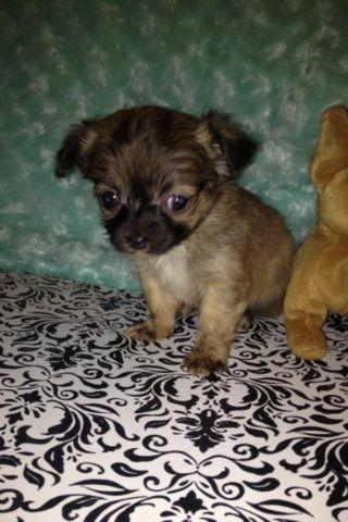 Teacup Applehead Chihuahua Puppies For Sale In Ohio Classifieds