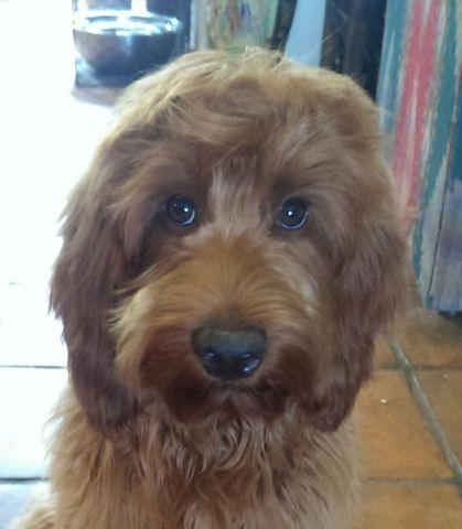 Labradoodle Miniature Puppies F1b For Sale In Colerain