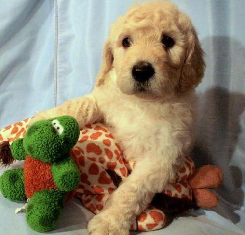 Labradoodle Puppies For Sale In Fredericksburg Virginia Classified