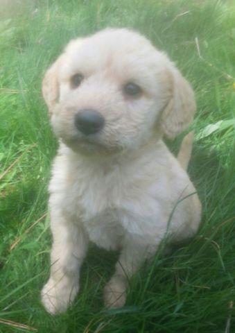 Labradoodle Puppies For Sale In Spokane Washington