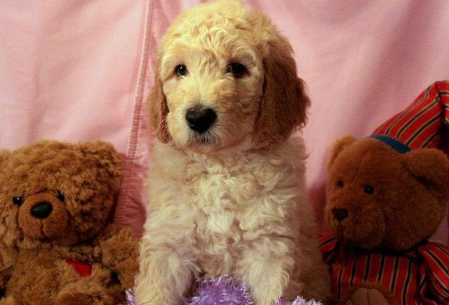 Labradoodle Puppies Beautiful And Sweet Tempered