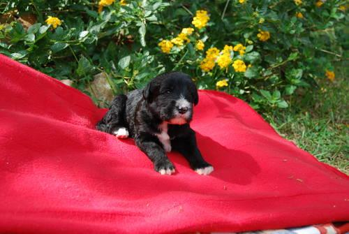 Labradoodle Puppies F1b Medium Size Ready For Christmas For