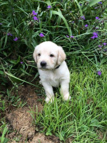 Labradoodle puppies for sale for Sale in Crown, Kentucky