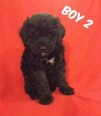 Labradoodle Puppies in Lexington, KY