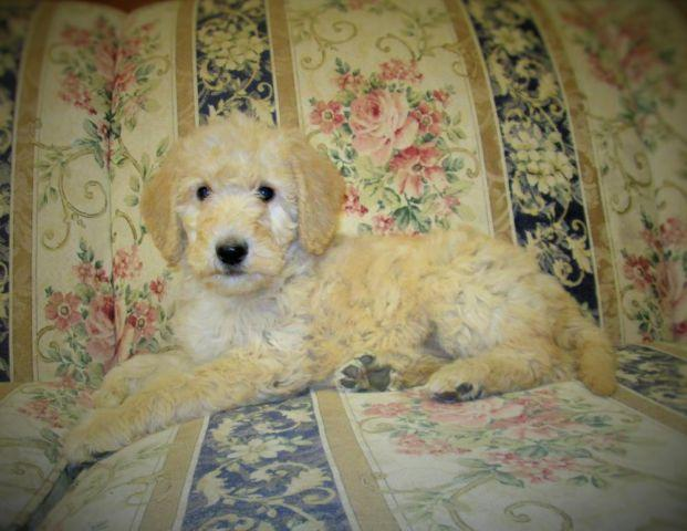 Labradoodle puppies (Valentines Day puppy)