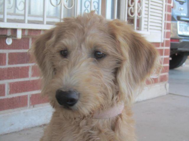 Labradoodle puppy for Sale in Tucson, Arizona Classified