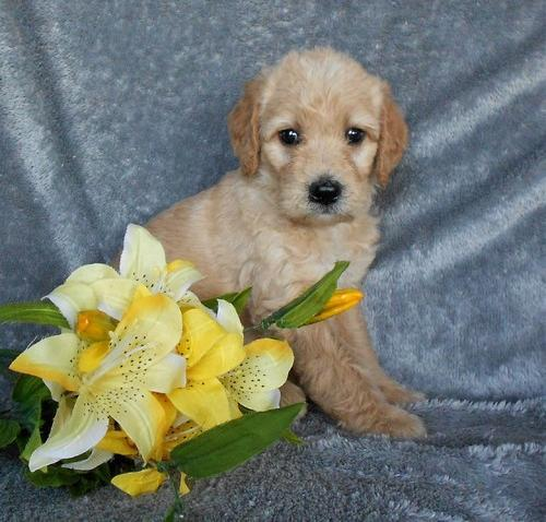 Labradoodle Puppy for Sale - Adoption, Rescue for Sale in