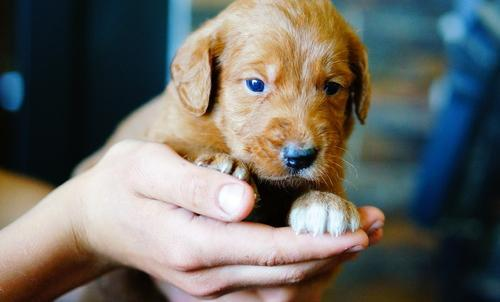Labradoodle Puppy For Sale Adoption Rescue For Sale In