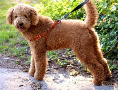 Labradoodle Puppy For Sale Adoption Rescue For Sale In Leesburg