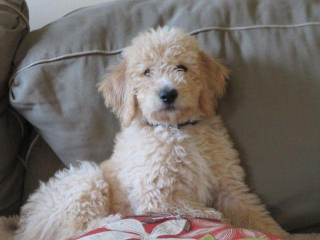 Labradoodle Puppy Pick Of The Litter For Sale In Middleville