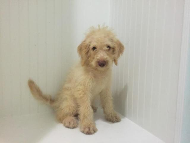 Labradoodle Pups Price Reduced For Sale In Alexandria