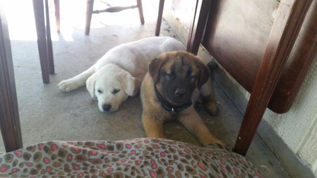Labrador puppies for sale san antonio tx