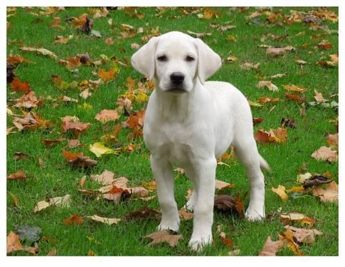 LABRADOR RETRIEVER AKCACA ENGLISH WHITE/CREAM YELLOW PUP for Sale in ...