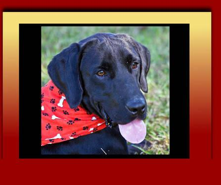 Labrador Retriever - All Animals - Medium - Young -