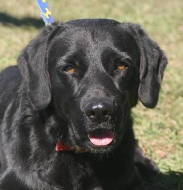 Labrador Retriever - Blackie - Medium - Young - Male -